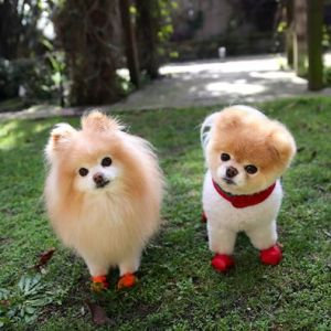 Pomeranian(pom)